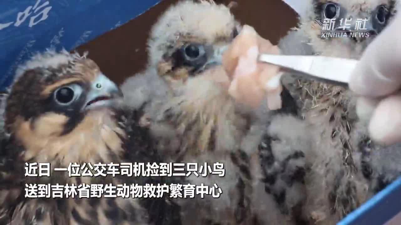 三只燕隼宝宝获救 系国家二级重点保护野生动物