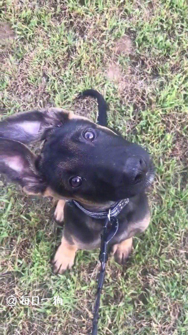 美国马萨诸塞州的一只警犬宝宝最近火了……