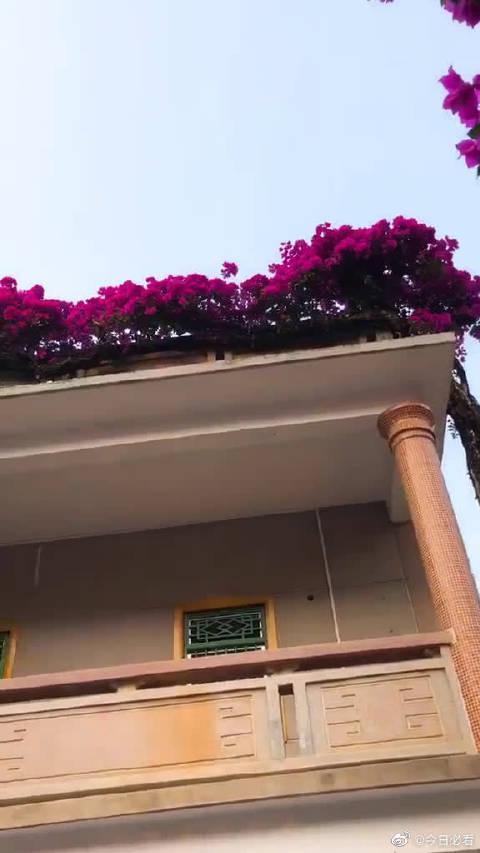20多年的杜鹃花,从一楼的院子爬到2楼,壮观!
