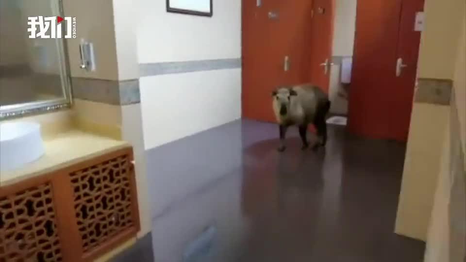 """""""萌兽""""出没!国家一级保护动物扭角羚现保护区厕所 画面呆萌"""