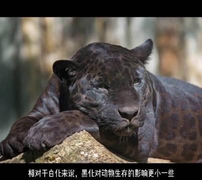黑化的美洲豹。美洲豹又叫美洲虎,身上的花纹比较像豹……