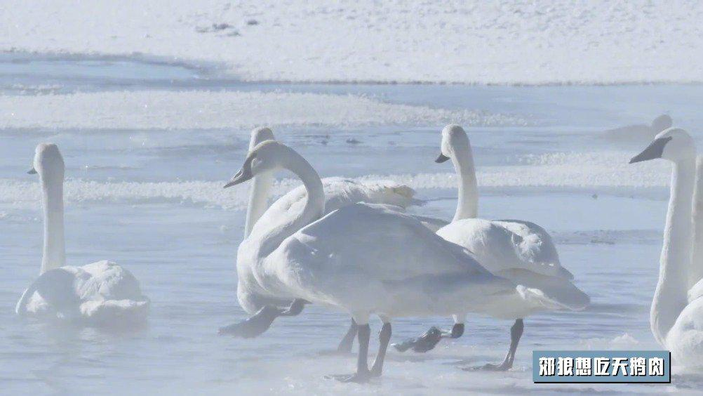 郊狼想吃天鹅肉 A Coyote Preys on a Flock of Swans