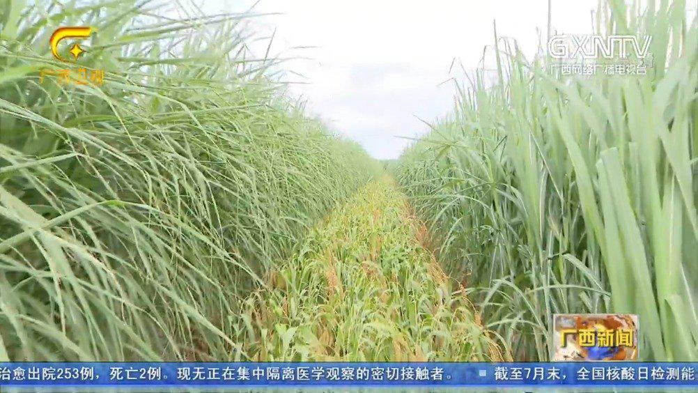 """广西:甘蔗粉垄""""145""""套种谷子获丰收"""