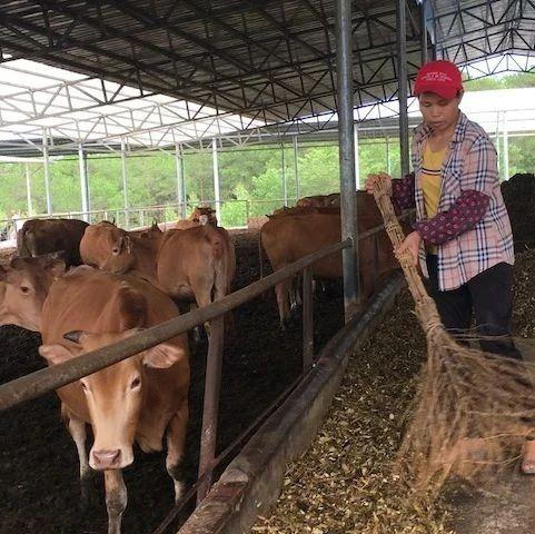 肉牛养殖、金花茶种植,特色产业助力脱贫增收
