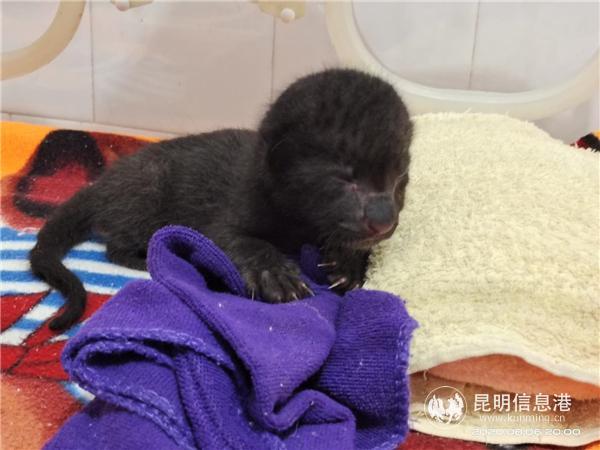 扩散!昆明动物园为国家一级保护动物黑豹姐妹找狗奶妈