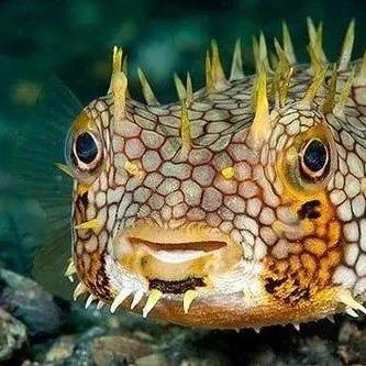 NIU课堂 | 《神奇的物种》19期,鱼中刺猬——刺豚鱼~