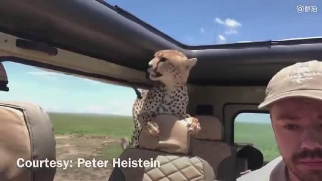 豹子闯入车内,吓得车上男子不敢动!