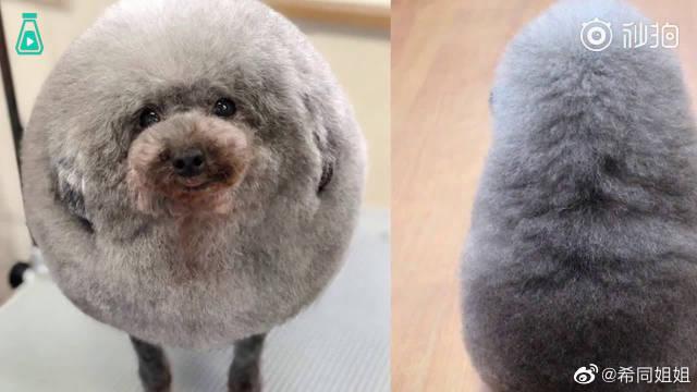 贵宾犬从理发店回家后…这是哪里来的小羊???