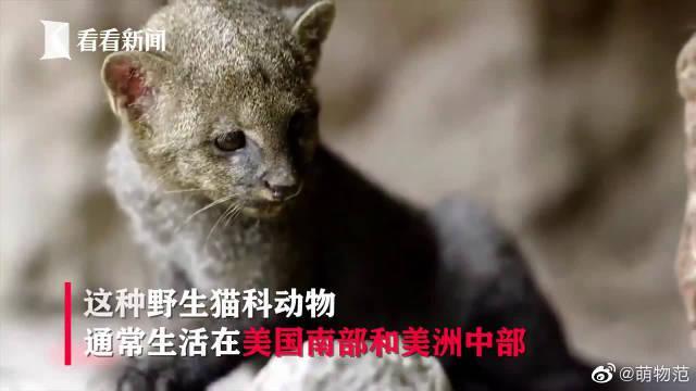 """女孩救下""""小奶猫""""养了两个月 带它就诊才发现是头美洲狮..."""