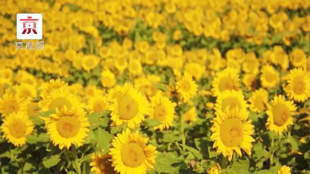 太美啦!内蒙300亩向日葵盛开 是漫画中才有的场景!