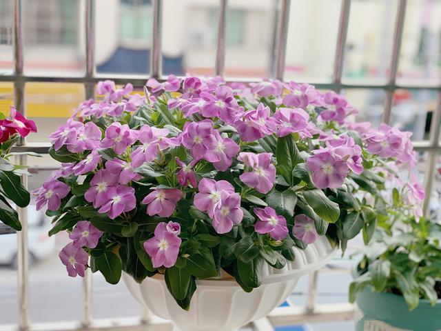 """垂吊长春花,室内盆栽""""新宠"""",好养如绿萝,四季常绿,周年开花"""