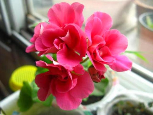 这3种花散发独特的香气,很好的解决夏季蚊虫困扰,开花美值得养