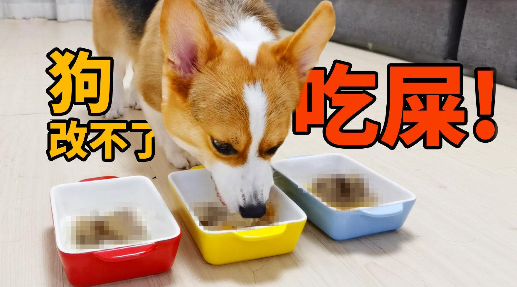 狗改不了吃屎?臭到令人作呕的食物,柯基却吃得贼香……