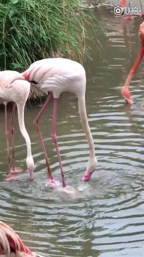 火烈鸟都这么喝水的么