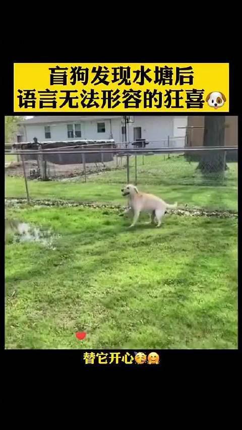 一只双目失明的狗狗,发现水塘后欣喜若狂