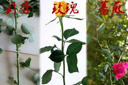 花卉植物玫瑰、月季、蔷薇花怎么区别?