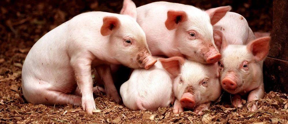 """AloT让农业变得简单,""""睿畜科技"""" 打造后疫情时代数字化养殖新标杆"""