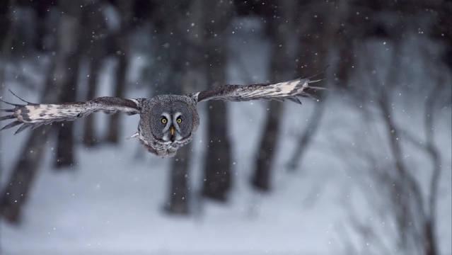 乌林鸮如幽灵般穿梭在林海雪原中!依雪而生的林中生灵!