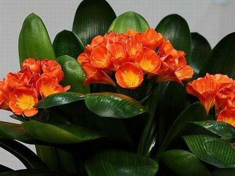 """养君子兰,每月喂1滴""""油"""",花朵鲜艳,叶片长出""""皮革纹"""""""
