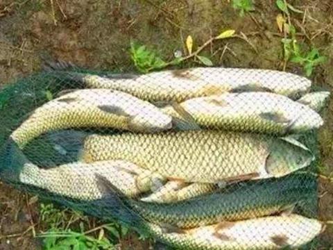 夏季野钓草鱼自制饵料配方,几款玉米粉粮食饵,大草鱼连竿上!
