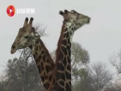用脖子打架!南非两只长颈鹿激烈搏斗 胜者两次将失败者踩在脚下