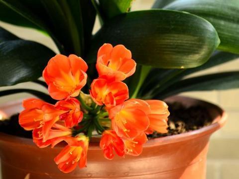 """年前养""""6款""""花卉,喜庆又漂亮,养护起来很简单,新手都喜欢!"""
