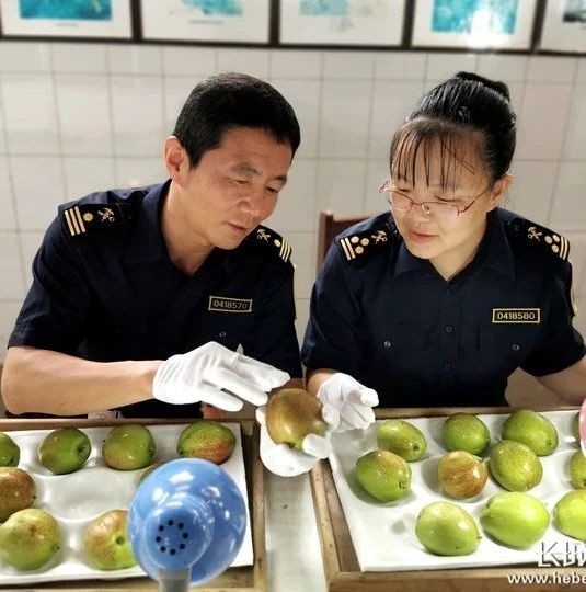 2020上半年沧州海关鲜梨出口货值同比增长151%