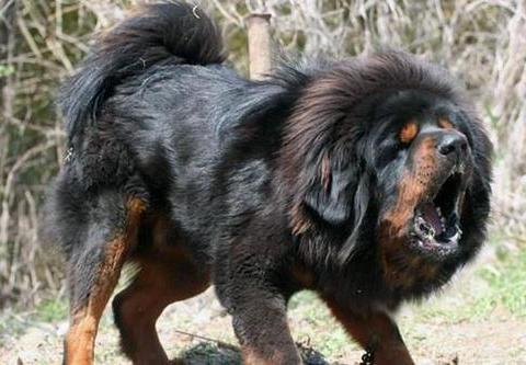 狗界的大长腿,世界上最大的狗,站起来超过了两米