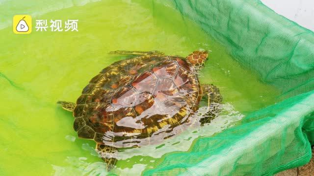 8海龟被非法卖到贵州3只死亡:饲养不当