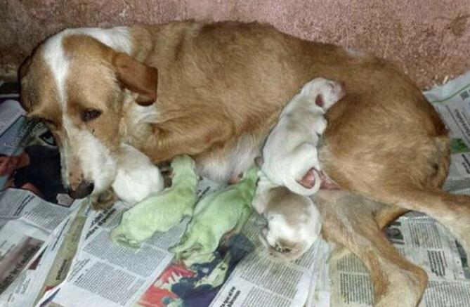 狗妈妈生下两只少见的绿色狗崽,这下可把女主人给急坏了
