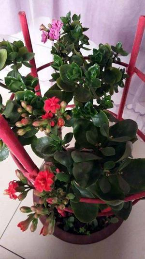 想要这2种花开花爆盆,学会嫁接事半功倍,养成小盆栽满盆花苞