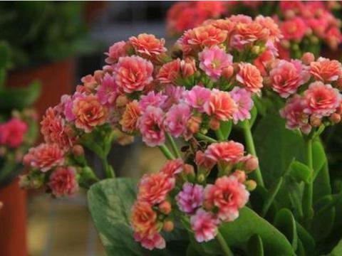 阳台养这几朵花,花开不断,花期长花量大,好养又漂亮,你养了吗