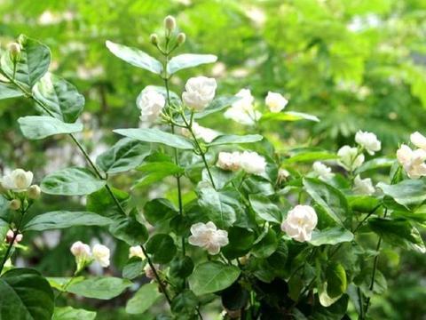 8月茉莉施上1种肥,植株很快分化花芽,再次开花