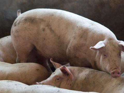 200头猪,两个月赚了60万,你明白猪肉为什么不降价了吗?