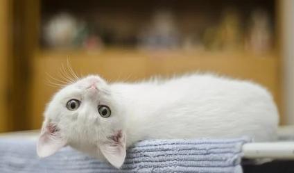 猫咪呕吐背后其实另有原因,毛球症只是其一
