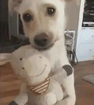 主人给狗狗抱布娃娃,狗子:本汪一样会抱小孩!