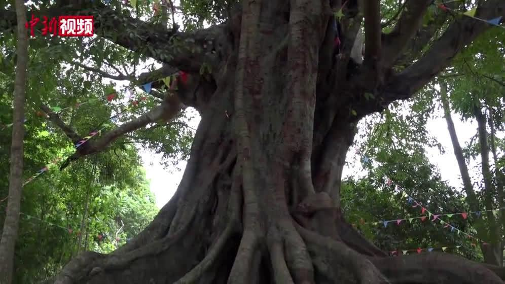 海南儋州调南村古树奇树成景点