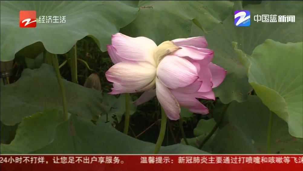 杭州 西溪湿地唯一并蒂莲配专职警卫 一天制止20起触摸企图
