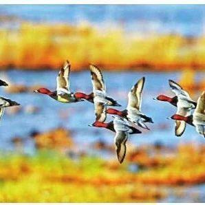 大庆的两百多种鸟儿,在居民区、芦苇荡送上听觉盛宴……