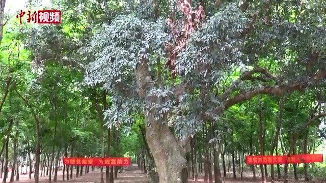 海南一村落古树奇树成景点
