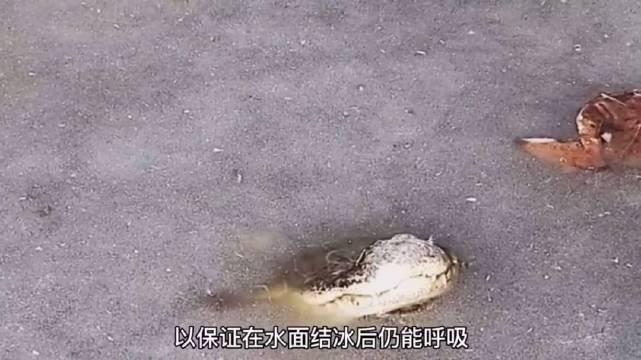 在冰冻的水中,鳄鱼的新陈代谢极慢……
