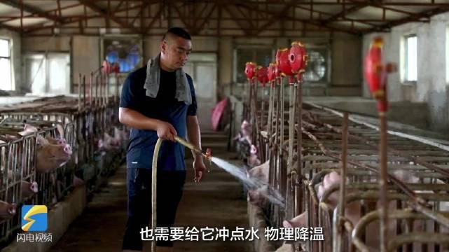 冲凉水澡、吹空调……德州养殖场的猪猪们这样度过高温天气