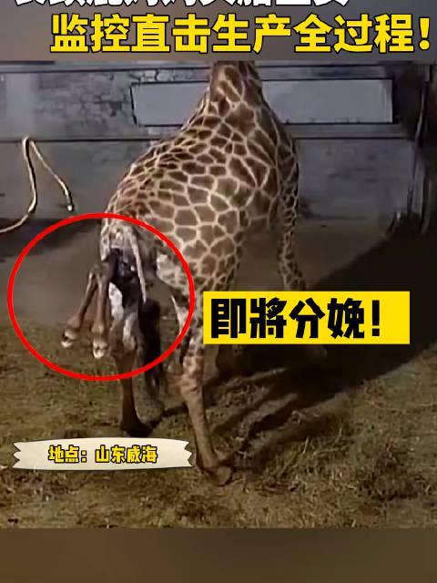 长颈鹿生娃你见过吗?监控直击长颈鹿生产全过程!
