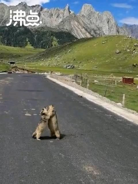 超萌土拨鼠现身马路上演拳击赛引游客围观