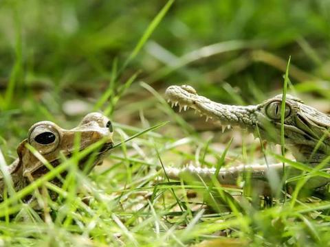 树蛙直接跳到鳄鱼的身上,鳄鱼瞬间也变得成为了弱者!