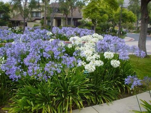 夏天买盆耐热耐晒的百子莲,可买裸根栽种,用小花盆养容易开花