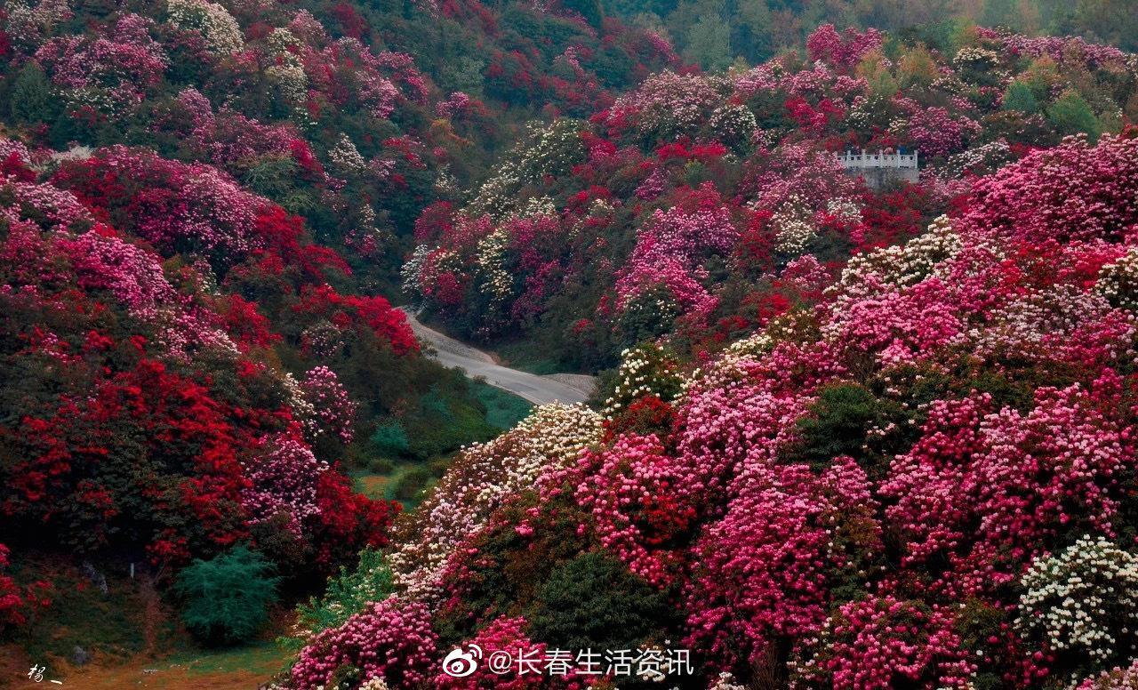 百里杜鹃 每年春天,贵州毕节的百里杜鹃的美就飘遍大江南北