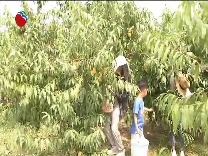 罗泾镇:百果园里体验农家采摘 爆款软籽石榴即将面市