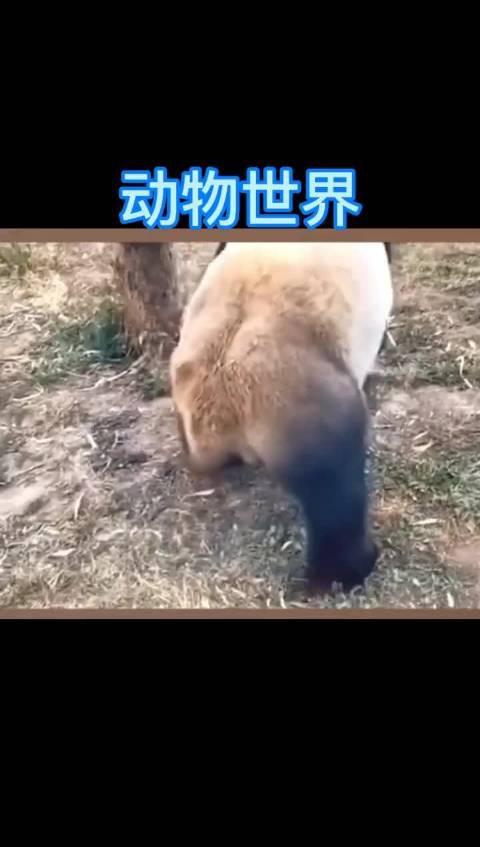 放飞自我的熊猫,主要看气质