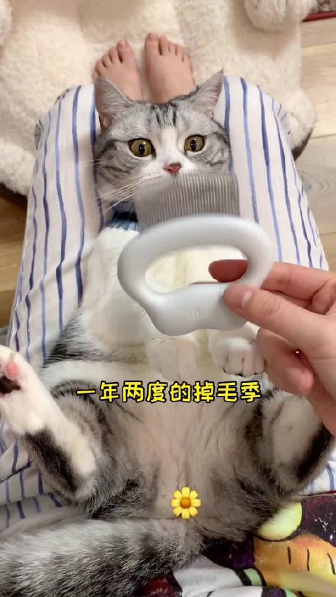 猫咪的换毛季又到了,要注意排毛球哦